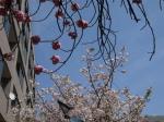 sakura flower 2014